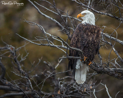 eagle by Dale Evans from Restless Soul Photography